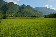 Field rice in Mai Chau